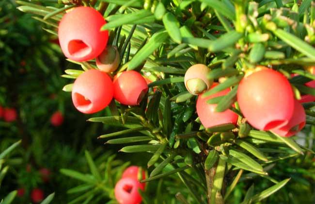 红豆杉盆景多少钱一盆