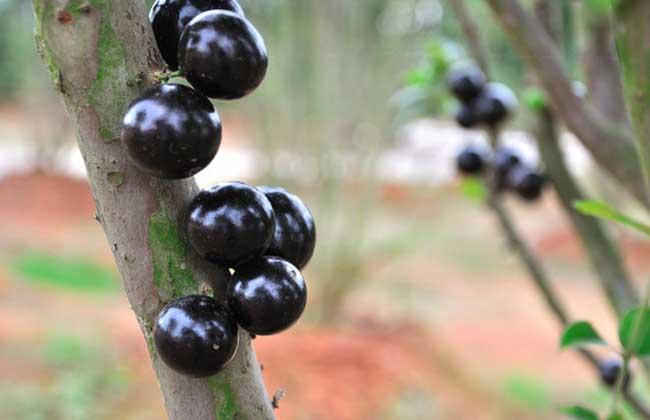 嘉宝果种植技术