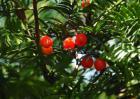 盆栽红豆杉怎么养?