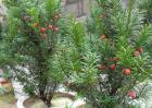 曼地亚红豆杉多少钱一棵?