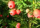 红豆杉盆景多少钱一盆?
