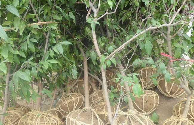 腊梅树多少钱一棵