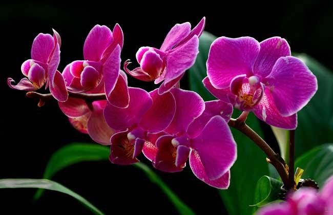 蝴蝶兰什么时候开花?