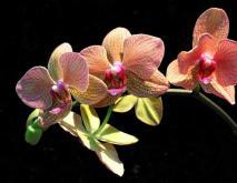 蝴蝶兰品种图片大全