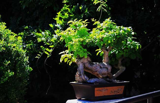 十八种最适合室内的盆景植物