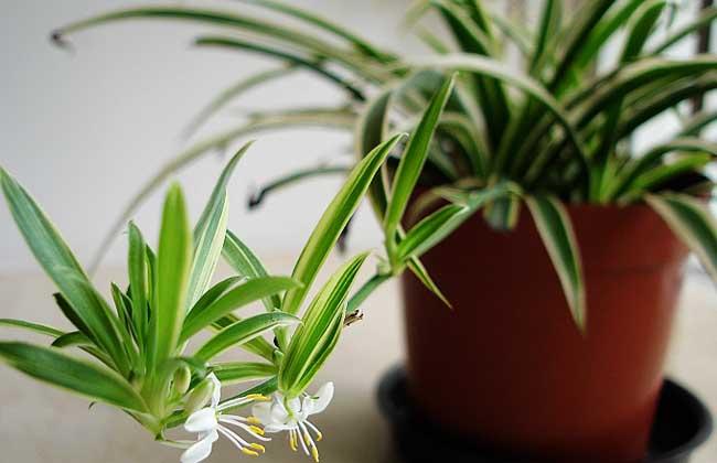 十八种最适合室内的盆景植物(2)