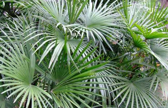 十八种最适合室内的盆景植物(3)