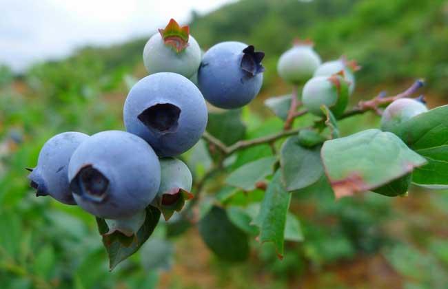 盆栽蓝莓的种植方法