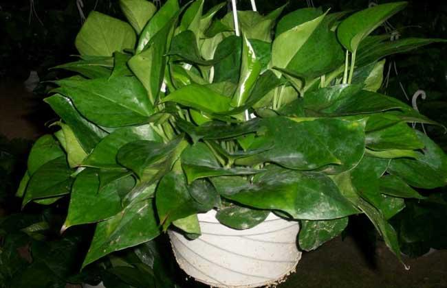 盆栽绿萝吊兰怎么养?