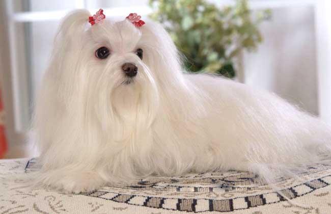 马尔济斯犬多少钱一只?