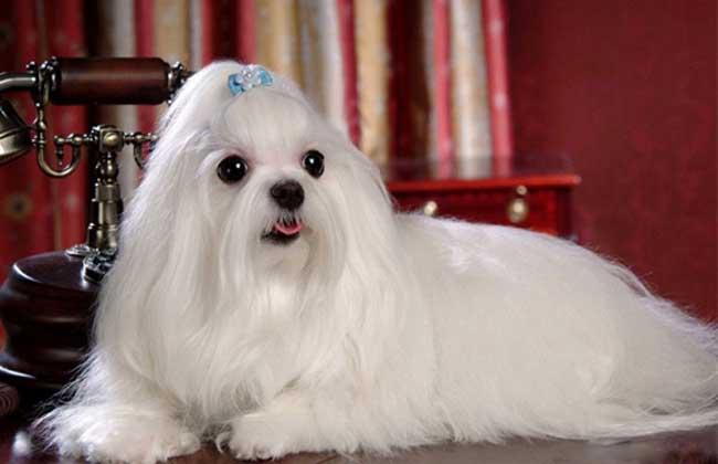马尔济斯犬多少钱一只