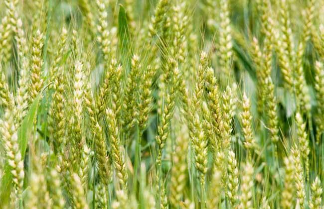 麦子什么时候成熟?