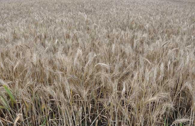 麦子什么时候成熟