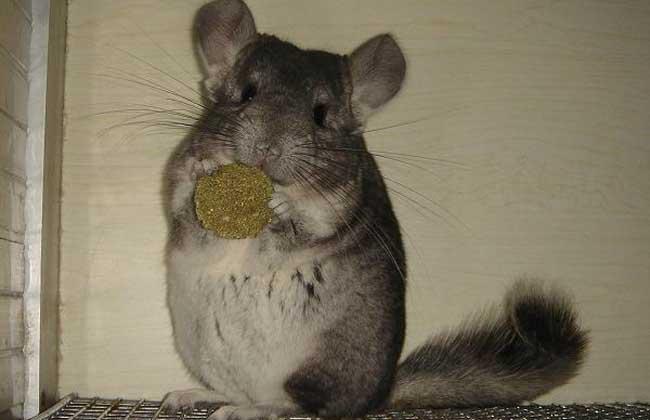 毛丝鼠为什么叫龙猫