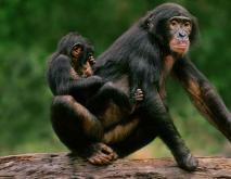 倭黑猩猩为何臭名昭著?