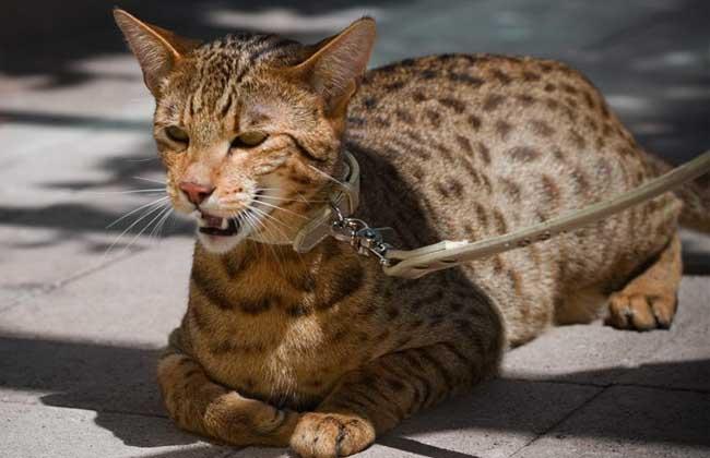孟加拉猫多少钱一只?