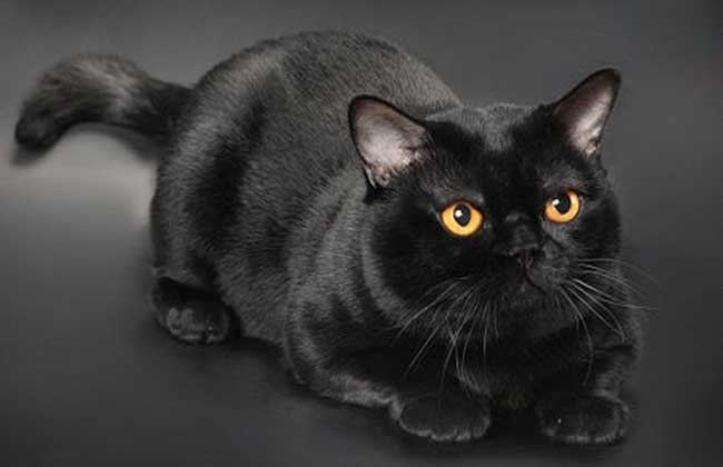 孟买猫多少钱一只?