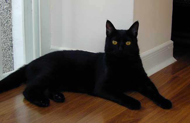 孟买猫和黑猫的区别