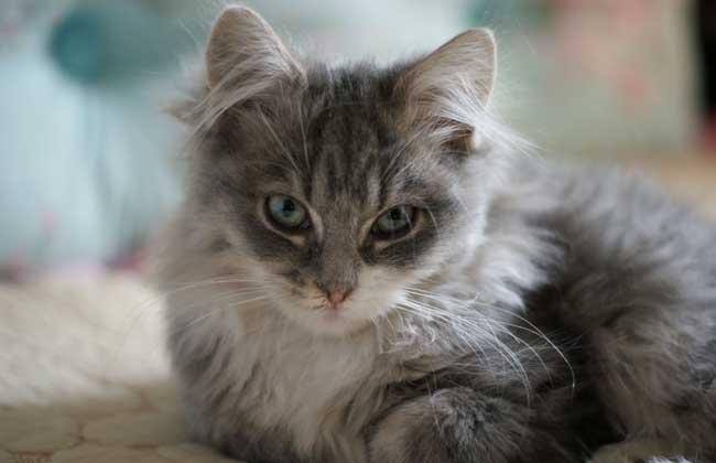 缅因猫多少钱一只?