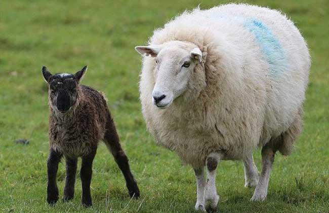 母绵羊有角吗
