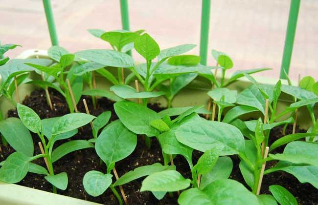 木耳菜种植技术