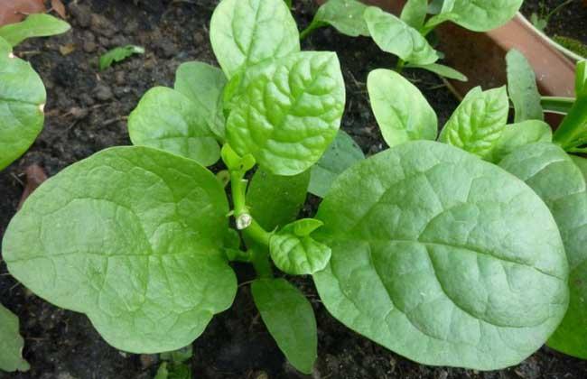 木耳菜什么时候种?