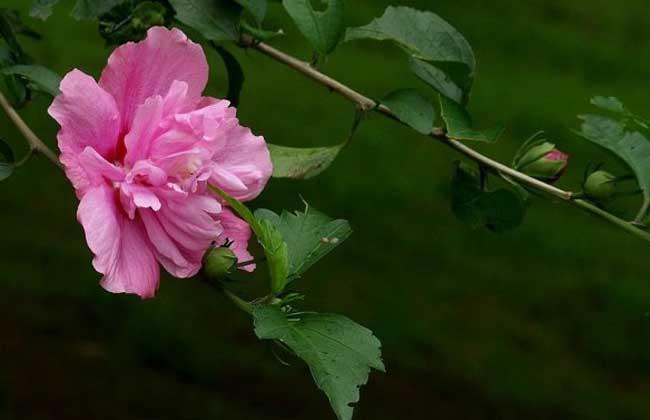 木槿花的花语和传说
