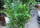 盆栽金钱树怎么养?