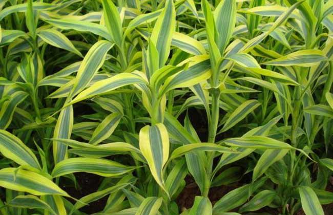 盆栽富貴竹怎么養?