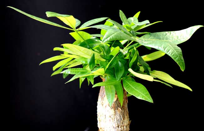发财树怎么养