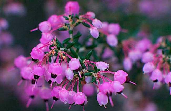 欧石楠的花语和传说