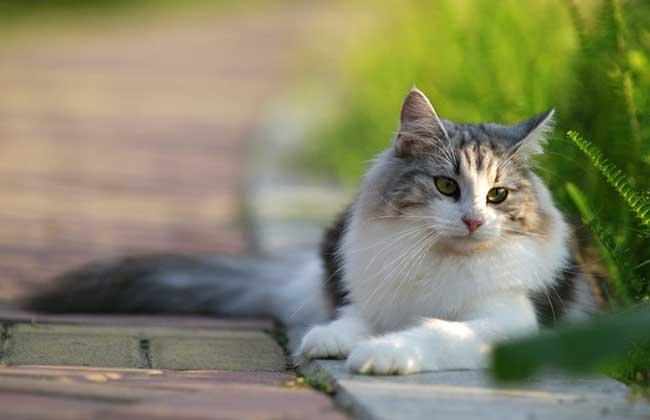 挪威森林猫多少钱一只?
