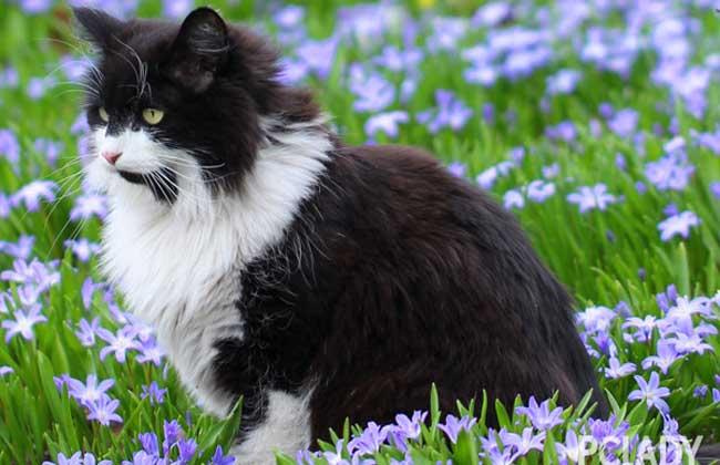 挪威森林猫多少钱一只
