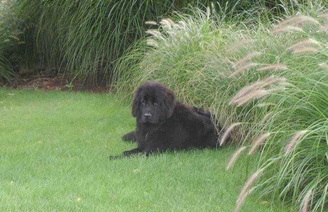 纽芬兰犬图片