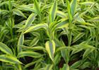 盆栽富贵竹怎么养?