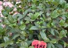 盆栽四季桂怎么养?