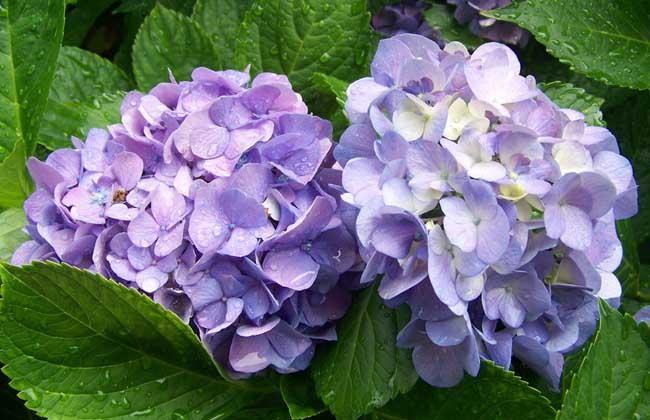盆栽绣球花怎么养?