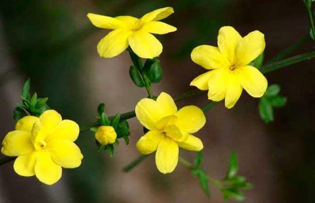 盆栽迎春花怎么养?