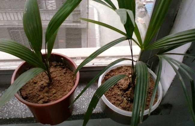 棕榈树怎么养