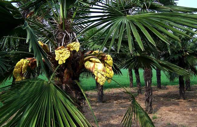 棕榈树和椰子树的区别