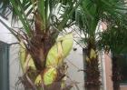 盆栽棕榈树怎么养?