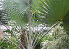 棕榈树的种植技术