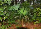 棕榈树多少钱一棵?