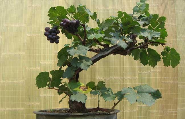 盆栽果树怎么养