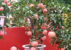 盆栽果树怎么养才好?