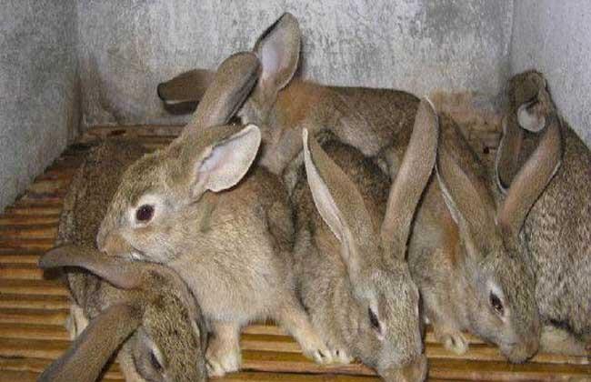 农村思麻兔养殖技术