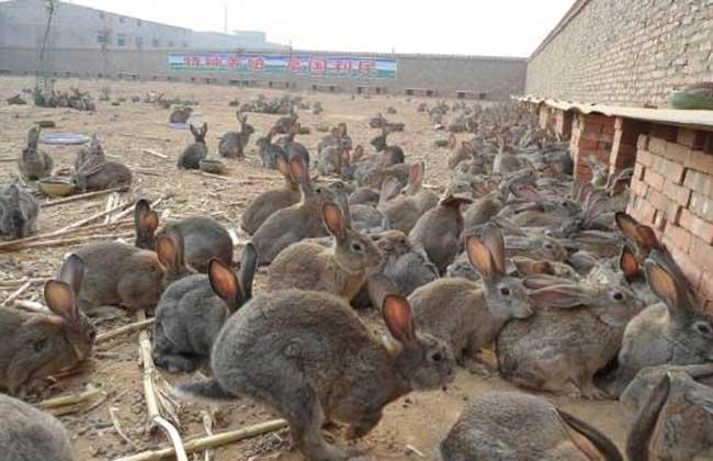 思麻兔养殖前景