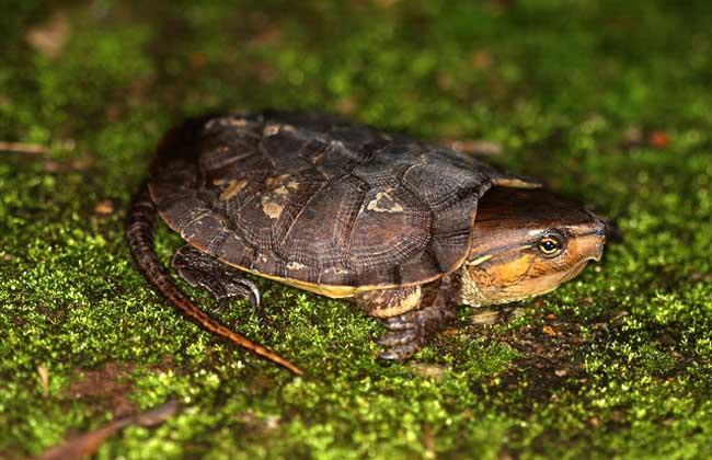 平胸龟养殖技术