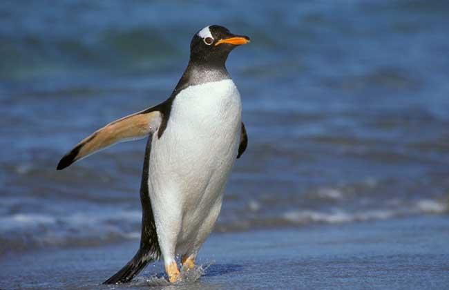 巴布亚企鹅