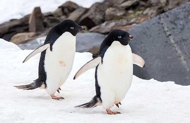 阿德利企鹅